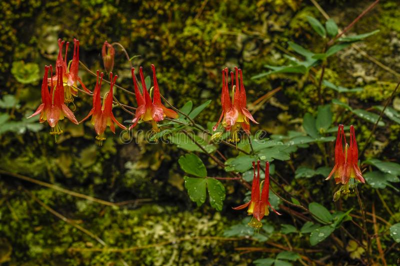 Columbine, Aquilegia Canadensis, горная цепь языка, район леса Джордж озера дикий, заповедник леса Adirondack, Нью-Йорк США стоковые фотографии rf
