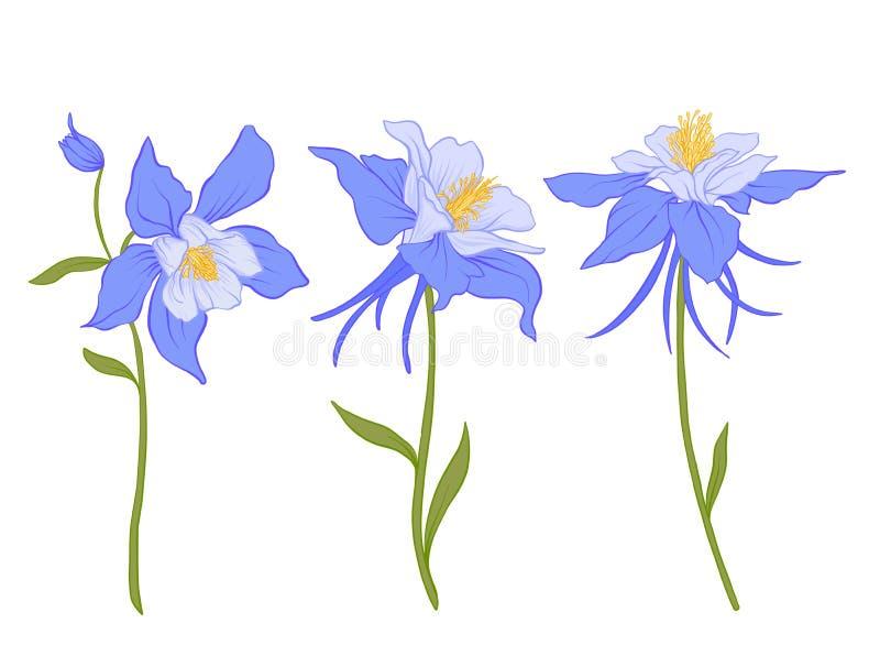 Columbine, aquilegia, flowers. vector illustration