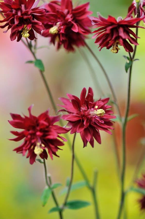 columbine blommigt vulgaris för aquilegiaclematis fotografering för bildbyråer