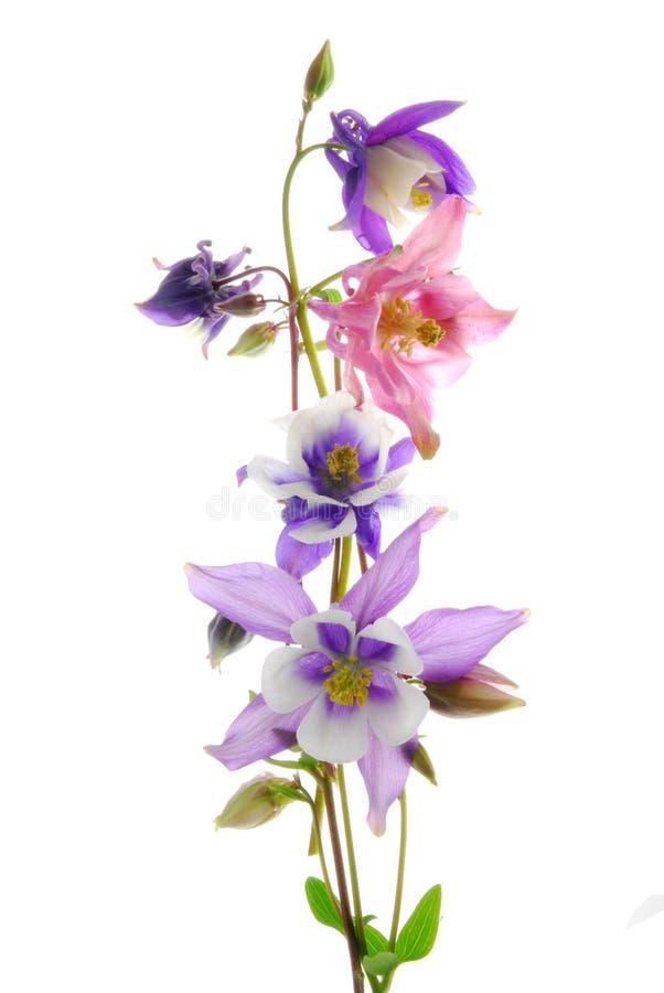 columbine blommor royaltyfri foto