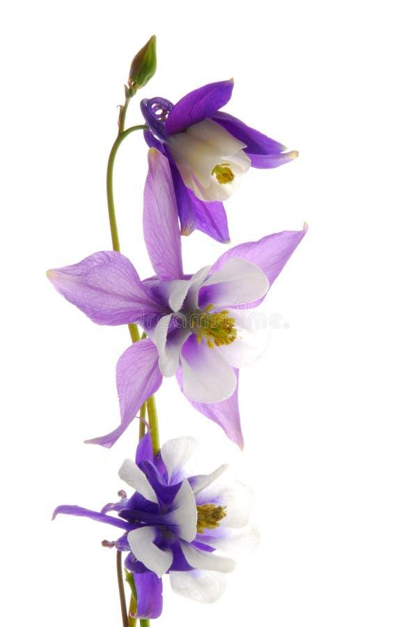 columbine blommor arkivfoton