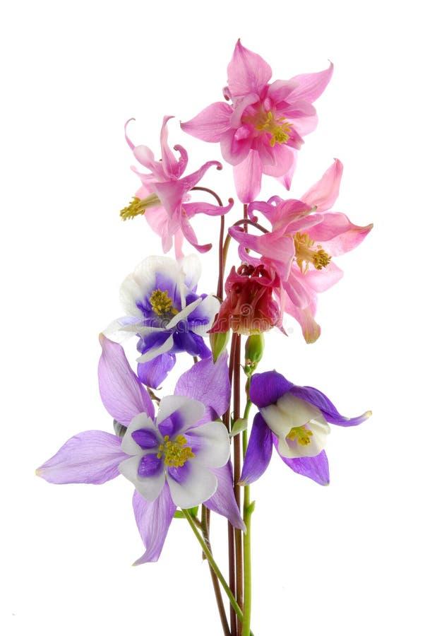 columbine blommor fotografering för bildbyråer