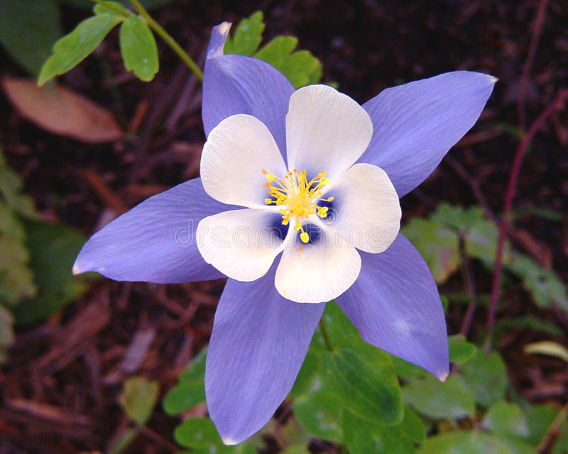 A Columbine Blossom (Colorado State Flower). The beautiful blue white and yellow, five-petaled Columbine flower stock image