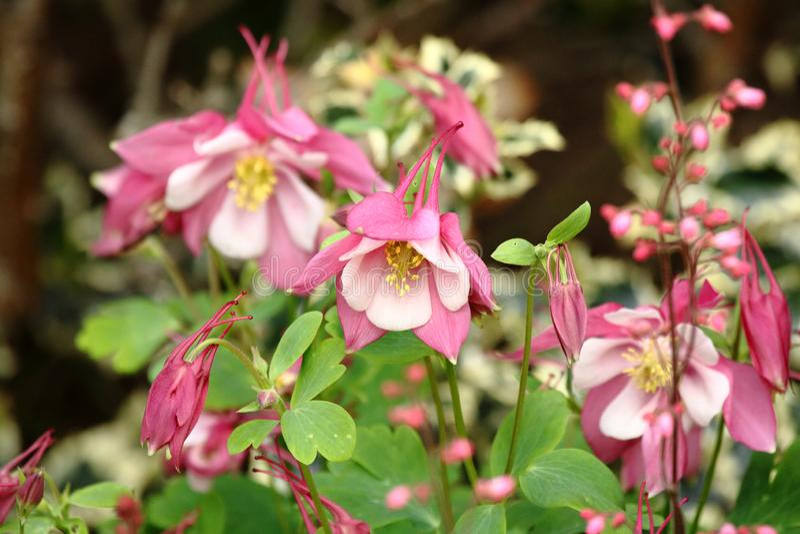 Columbine cor-de-rosa fotos de stock royalty free