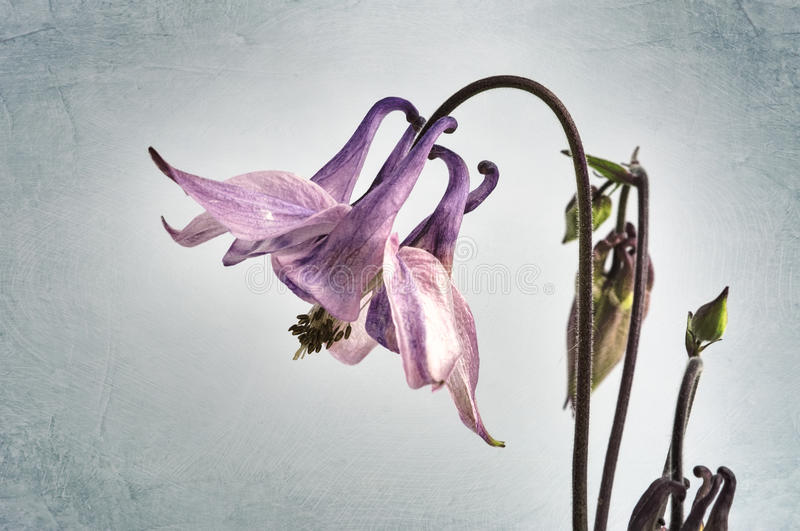 Columbine Flower stock photography