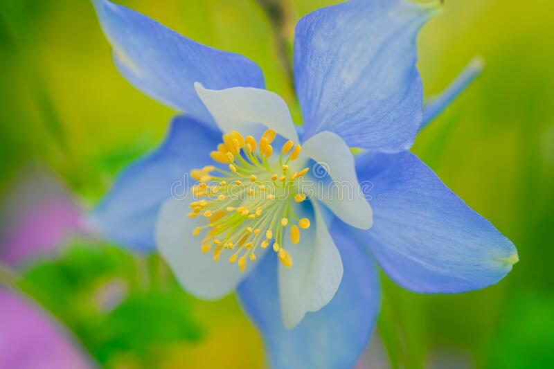 Columbine flower with soft light. Macro closeup blue columbine flower blooming with shallow depth of focus, image is Elegant and beautiful in soft colourful stock photo