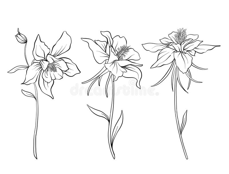 Columbine Flower Line Drawing : Columbine flowers set of outline stock vector