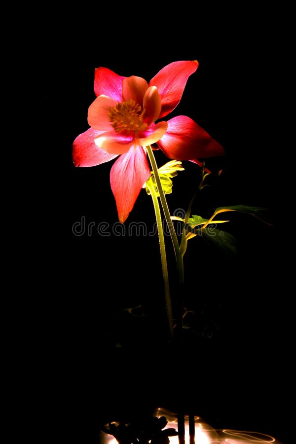 columbine red arkivfoto