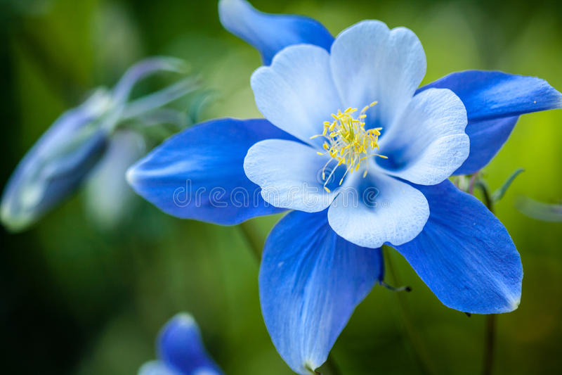 Columbines royalty free stock photo
