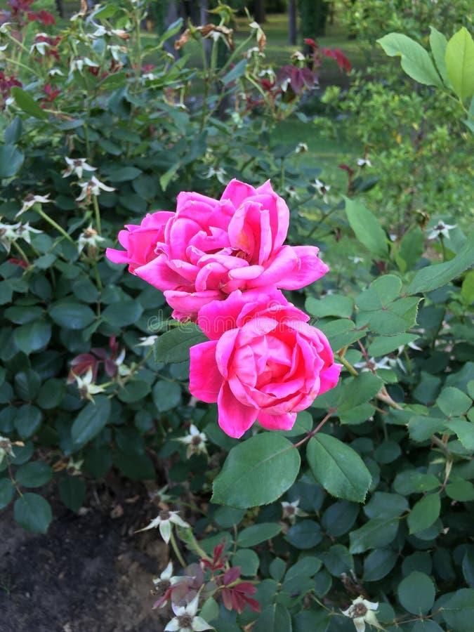 Columbus Roses lizenzfreie stockfotografie