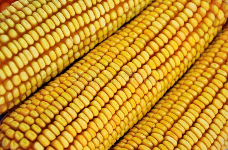 Download Column of raw corn cob stock photo. Image of shape, corn - 22686688