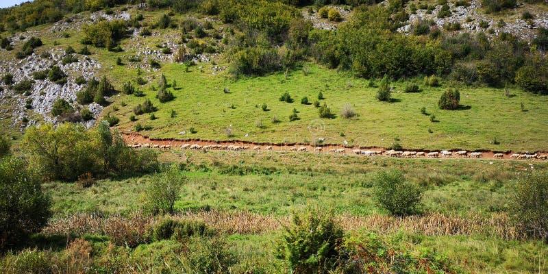 Columna de las ovejas en Sjenica cerca de la montaña Serbia de Zlatar imagen de archivo