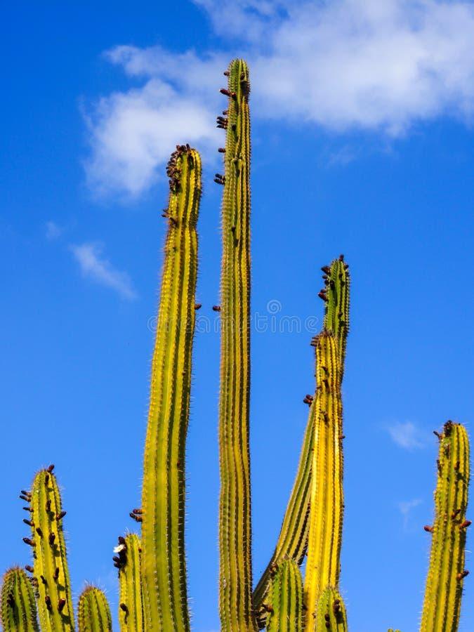 Columnar kaktus som isoleras på blå himmel royaltyfri bild