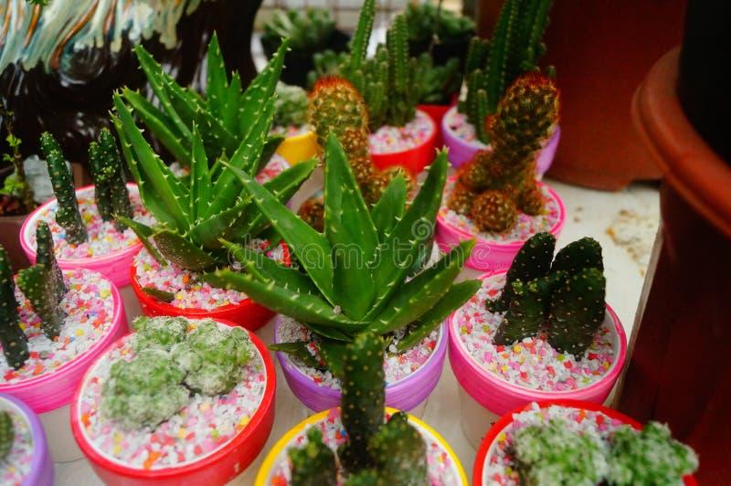 Columnar kaktussuckulenter royaltyfri fotografi