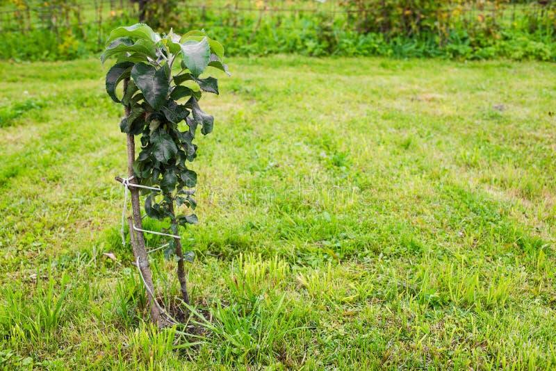 Columnar ungt växa för äppleträd arkivbilder