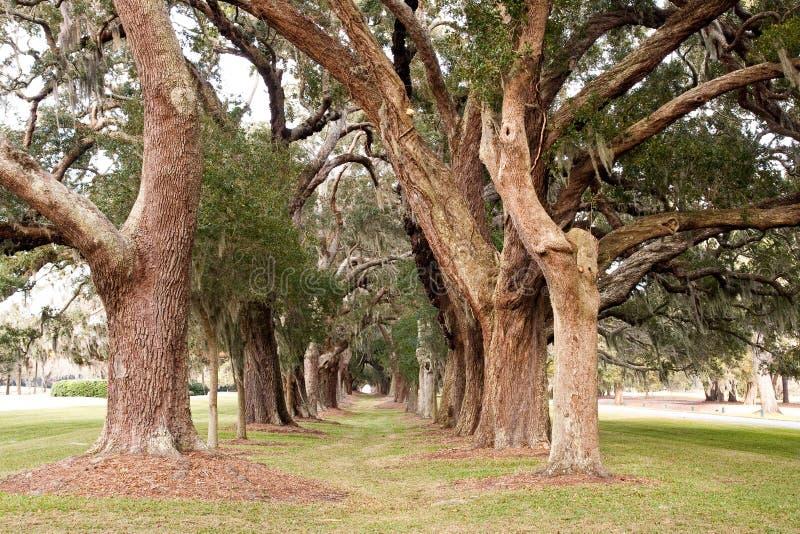 Columnas de los árboles de roble viejos imagen de archivo