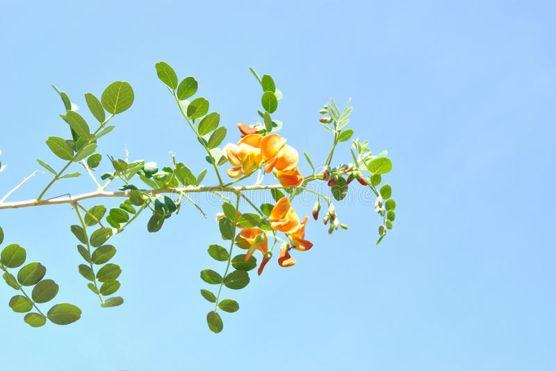 The colutea with pinnate leaves and orange flowers