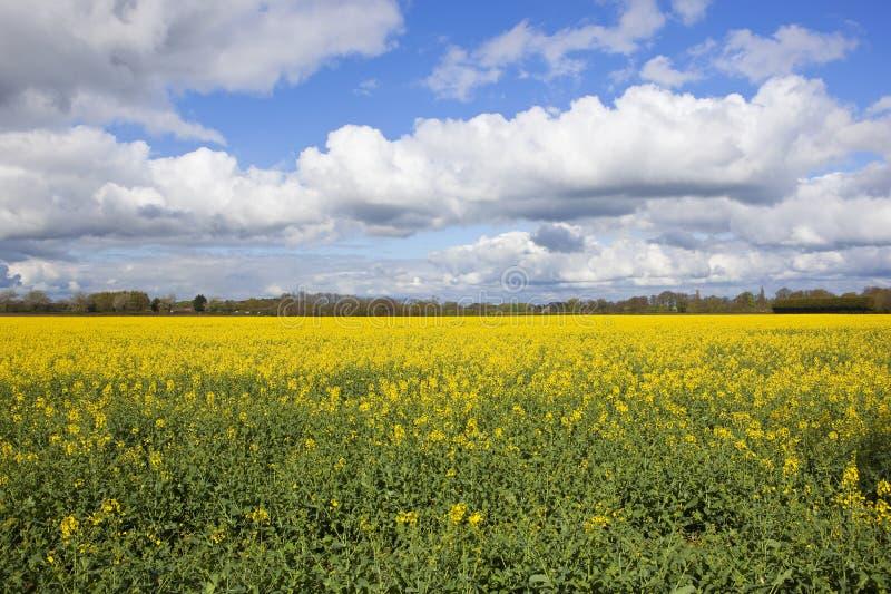 A colza de florescência colhe sob um céu chuvoso da primavera imagens de stock