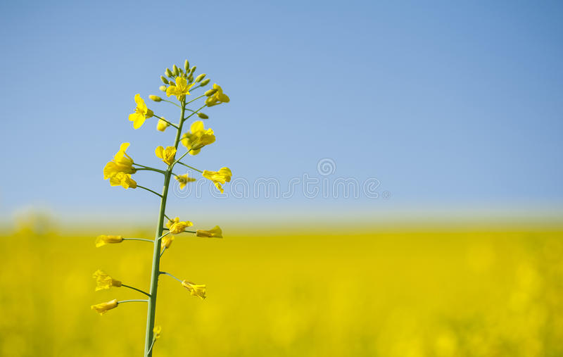 Colza di fioritura sola sul fondo giallo del giacimento del canola fotografie stock