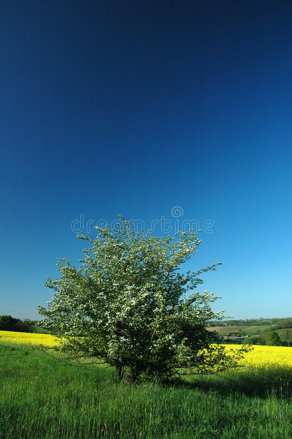 Download Colza field #03 stock image. Image of white, landscape - 5103927