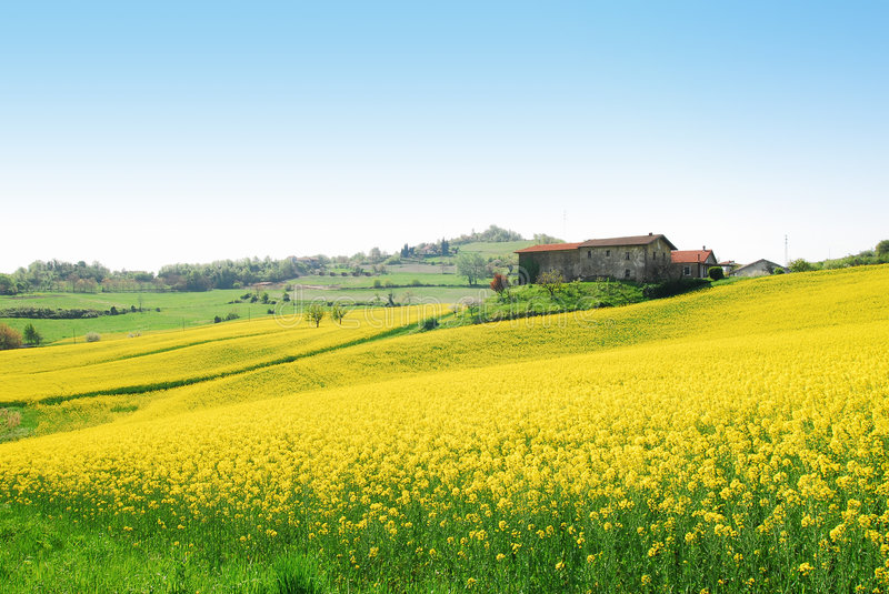 Colza field. A beautiful colza field in the Piemonte region (Italy stock photography