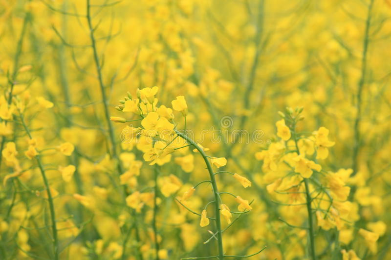 Colza field. Large view of the yellow colza field royalty free stock image