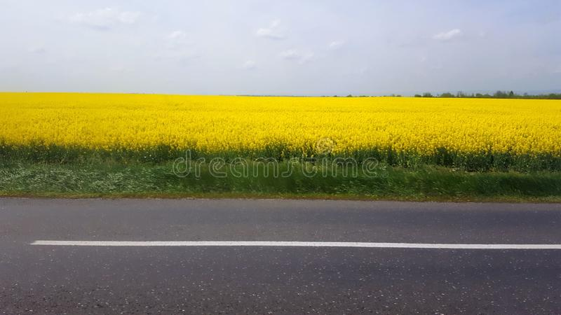Colza field. Next to a road stock photo