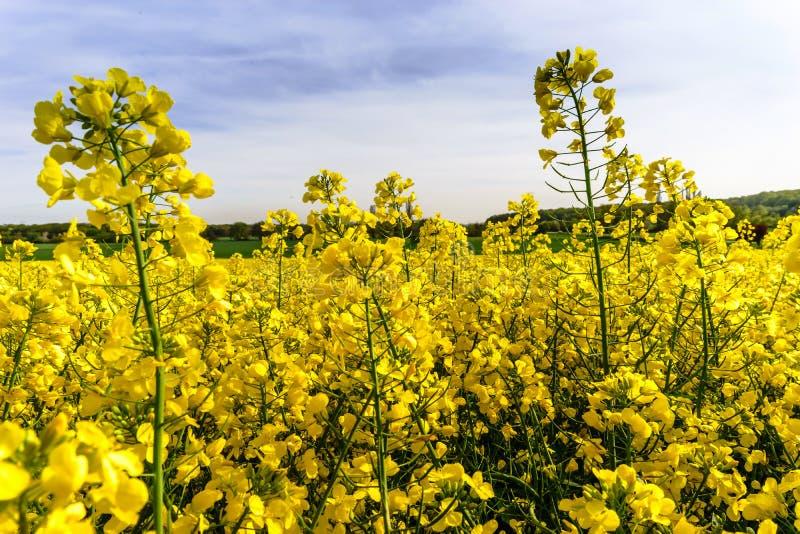 Colza hermosa que florece, campo amarillo de la violación imagen de archivo
