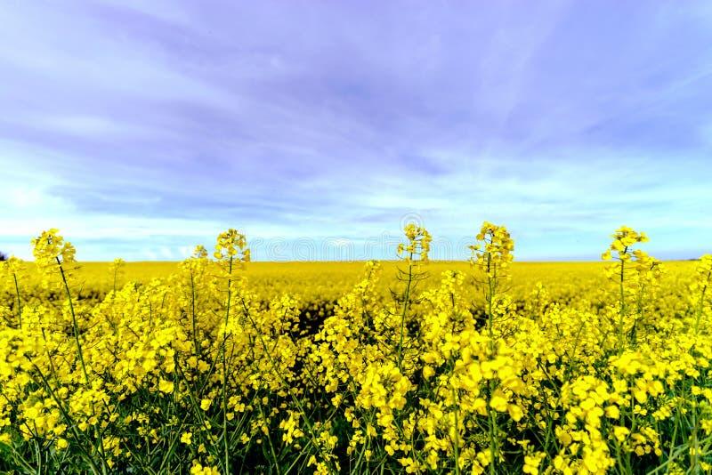 Colza hermosa que florece, campo amarillo de la violación fotografía de archivo