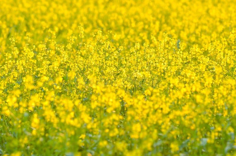 Colza kwiaty zdjęcia stock