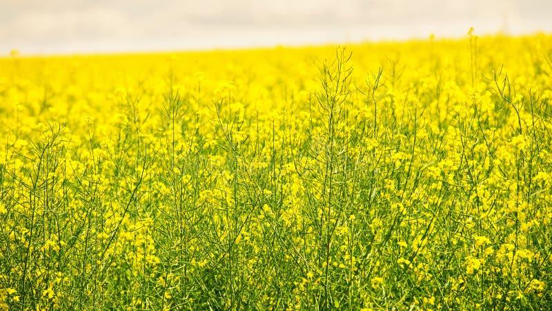 Colza kwitnie w wiośnie Koloru żółtego i zieleni rapeseed obraz stock