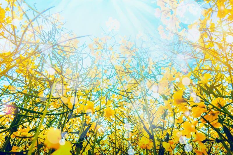 Colza la pianta con i fiori gialli sopra il fondo del for Pianta con la i