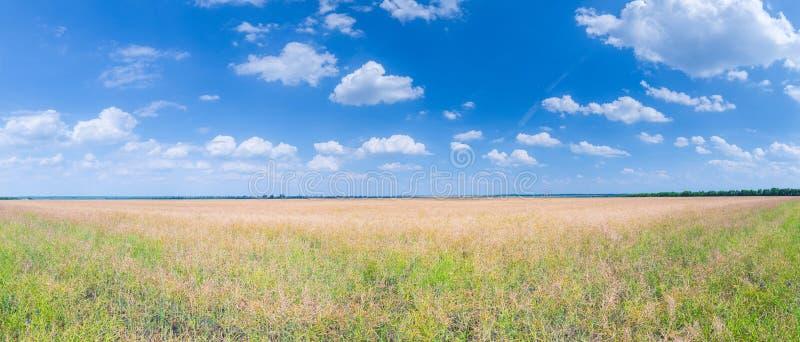 A colza madura em um campo enorme no dia de verão ensolarado O tempo de colheita imagens de stock royalty free