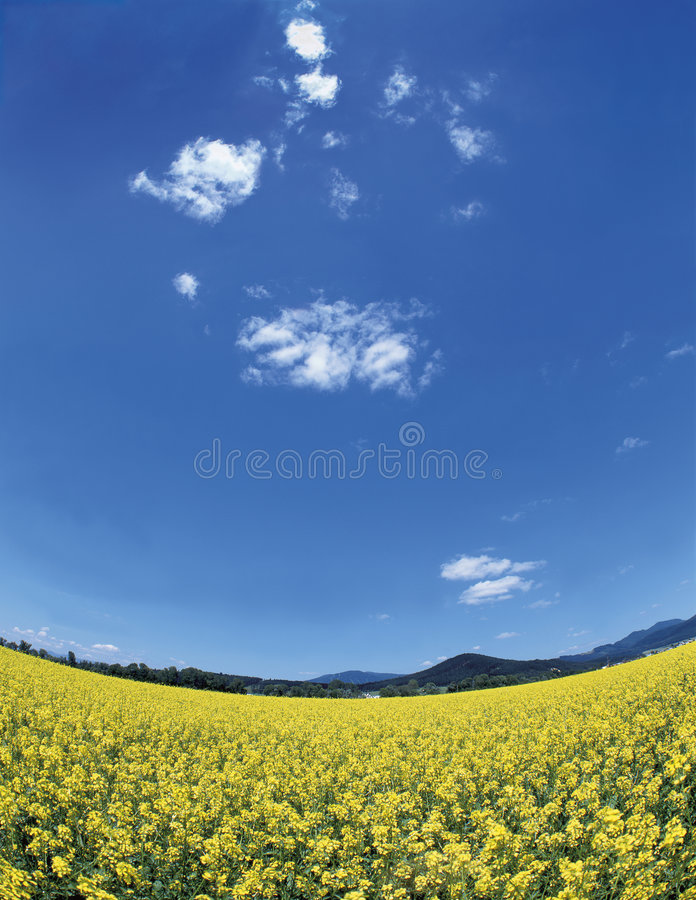 Download Colza meadow stock photo. Image of blue, leaves, yellow - 1318552