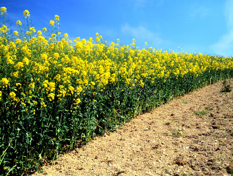 Colza oléagineux (canola) photo stock