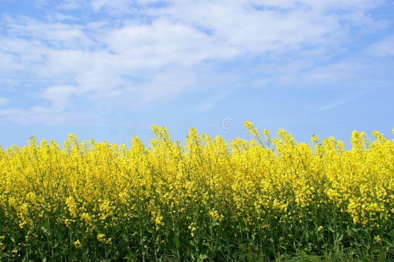 Colza oleifero giallo immagini stock