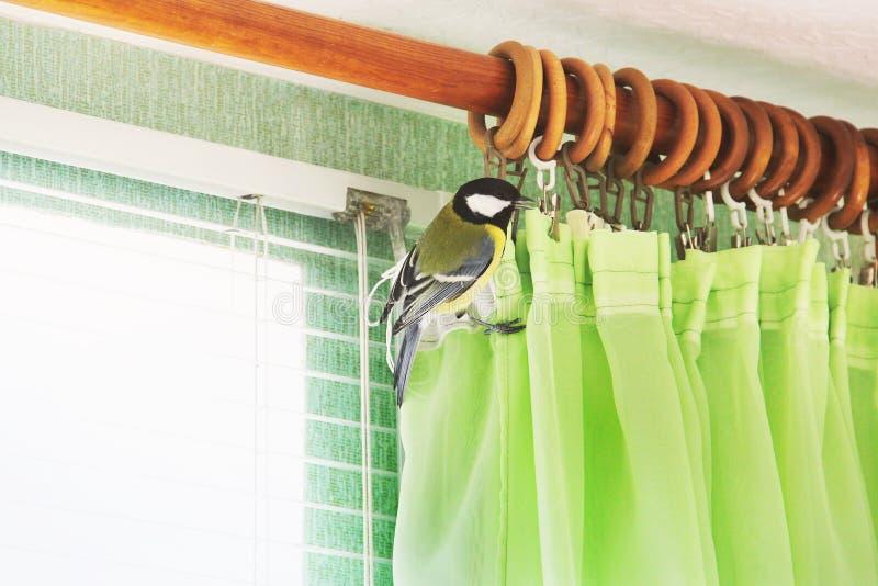 Comandante del Parus Pájaro en la casa fotos de archivo libres de regalías