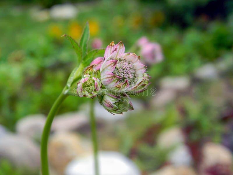 Comandante floreciente del astrantia en el jardín imagen de archivo
