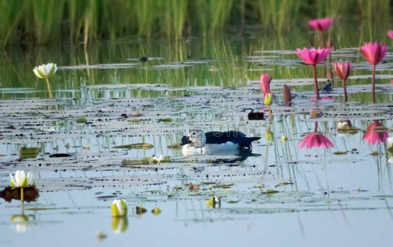 White duck swimming in lake water with beautiful lotus flowers in background. royalty free stock photo