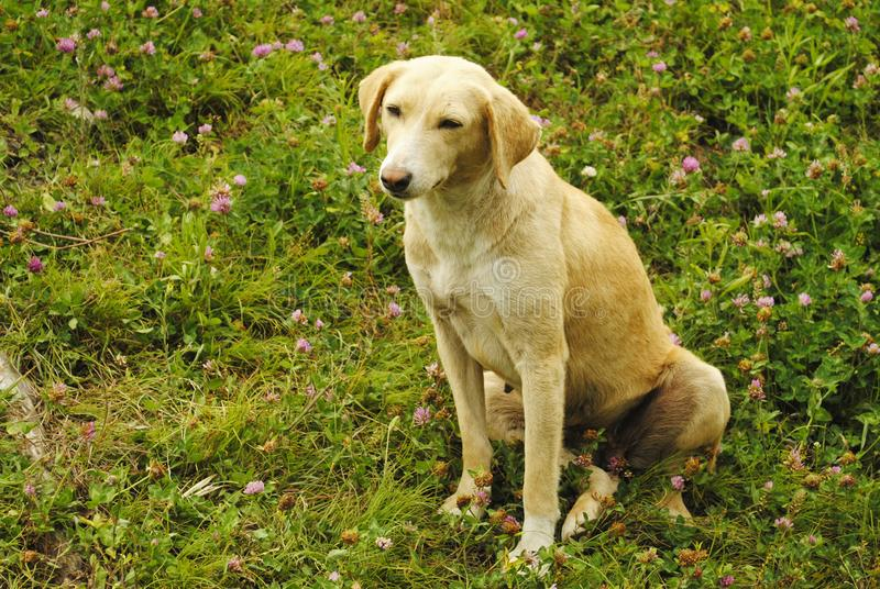 Combai dog breed on green grass, Manali, Himachal Pradesh, India.  stock photos