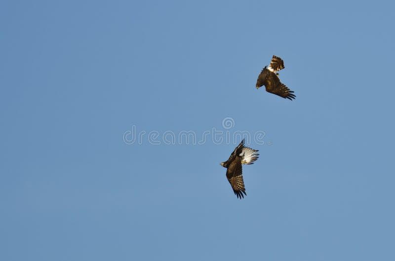 Combat aérien entre un harrier du nord et un faucon Rouge-coupé la queue photos stock