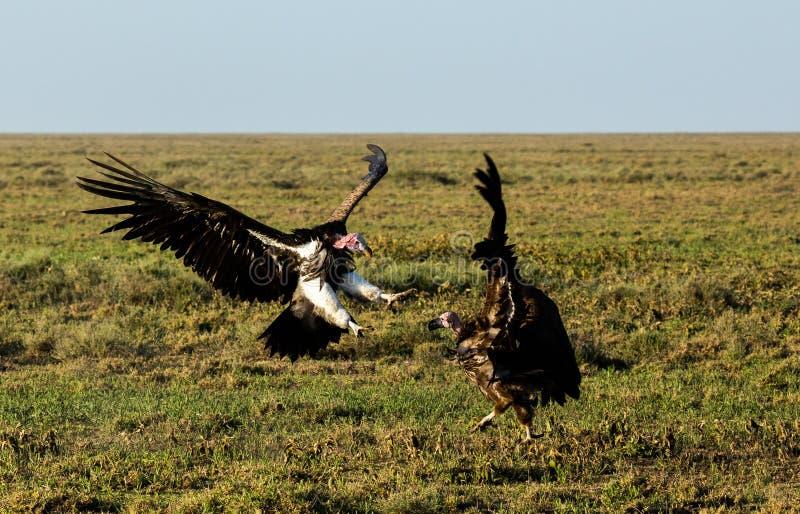 combat au visage de plumetis de vautour photos stock