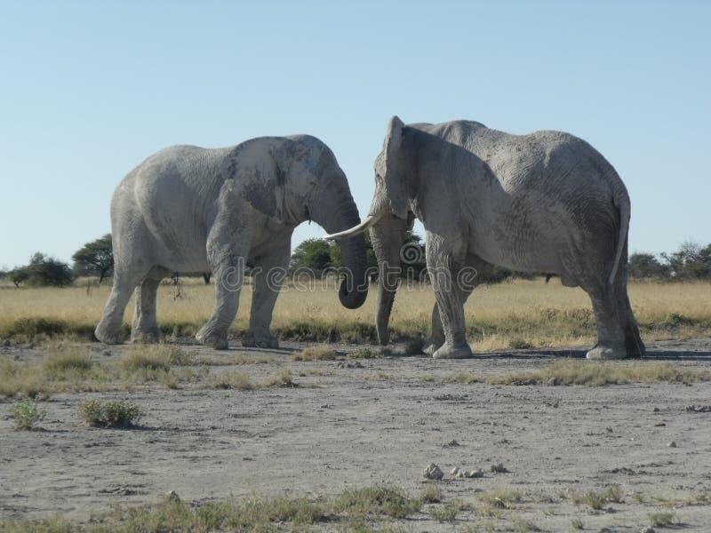 Combat d'éléphant africain photo libre de droits