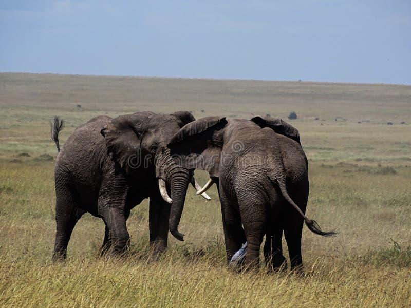 combat d'éléphants images stock