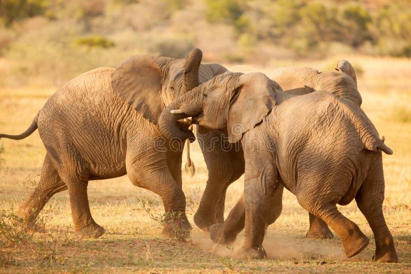 Combat d'éléphants en Afrique image stock