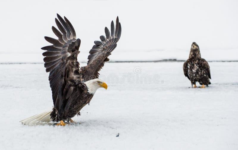 Combat d'Eagles chauve (HALIAEETUS LEUCOCEPHALUS) photographie stock libre de droits