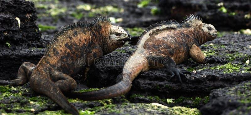 Combat d'iguane marin de mâles. photographie stock