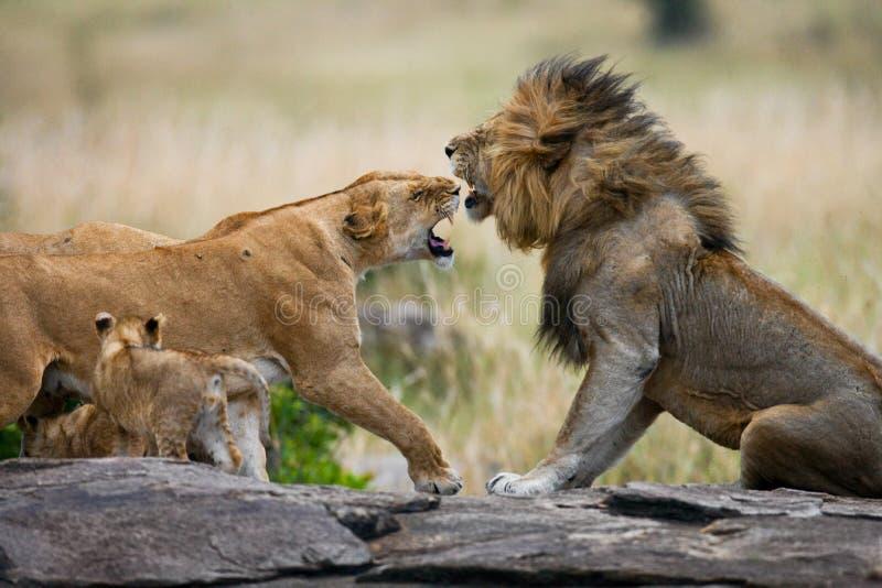Combat dans la famille des lions Stationnement national kenya tanzania Masai Mara serengeti images libres de droits