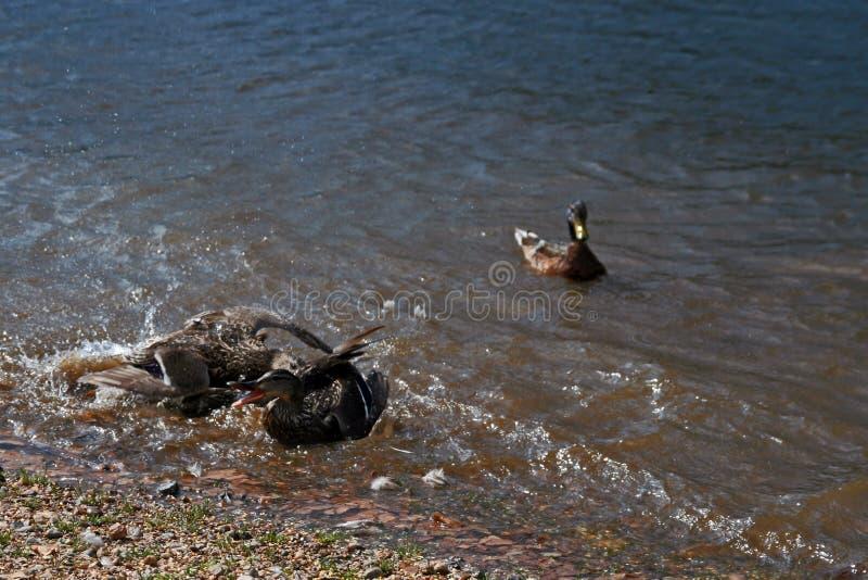 Combat de canard dans le lac Estes Park Colorado photo libre de droits