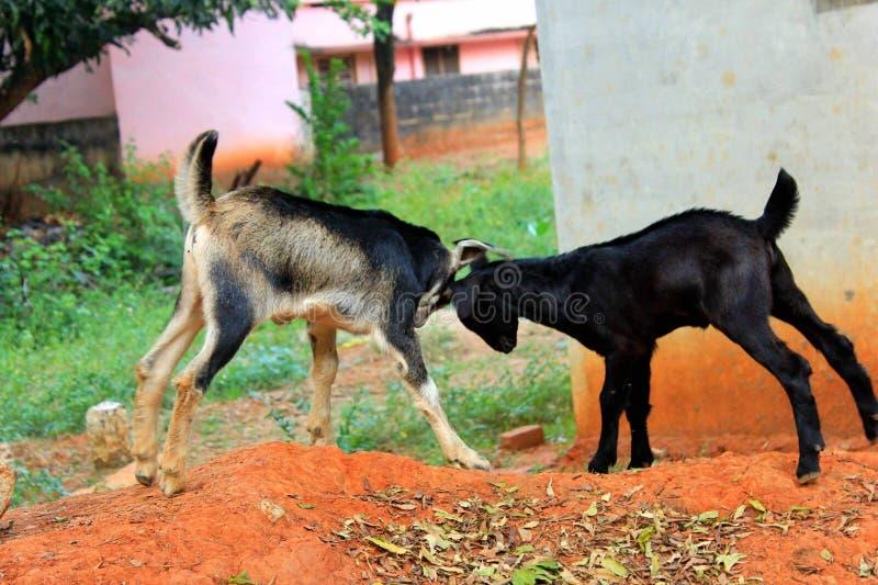 Combat de chèvre photographie stock libre de droits